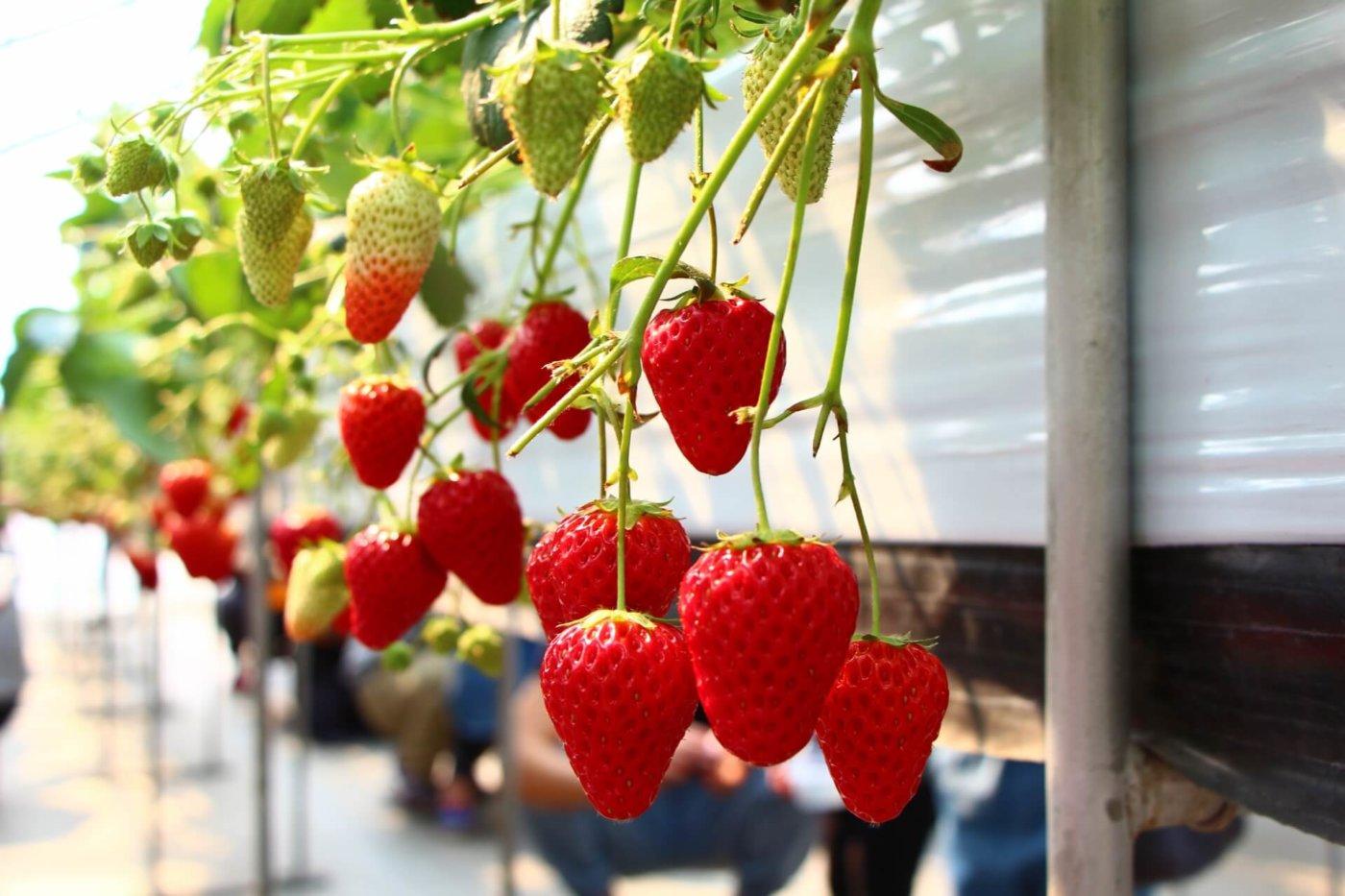 三重県のイチゴ狩りスポット