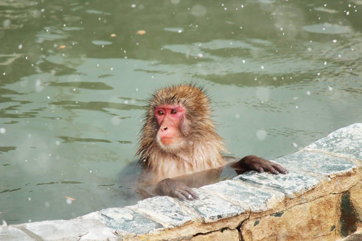 長野県には、温泉に入る猿がいる!?