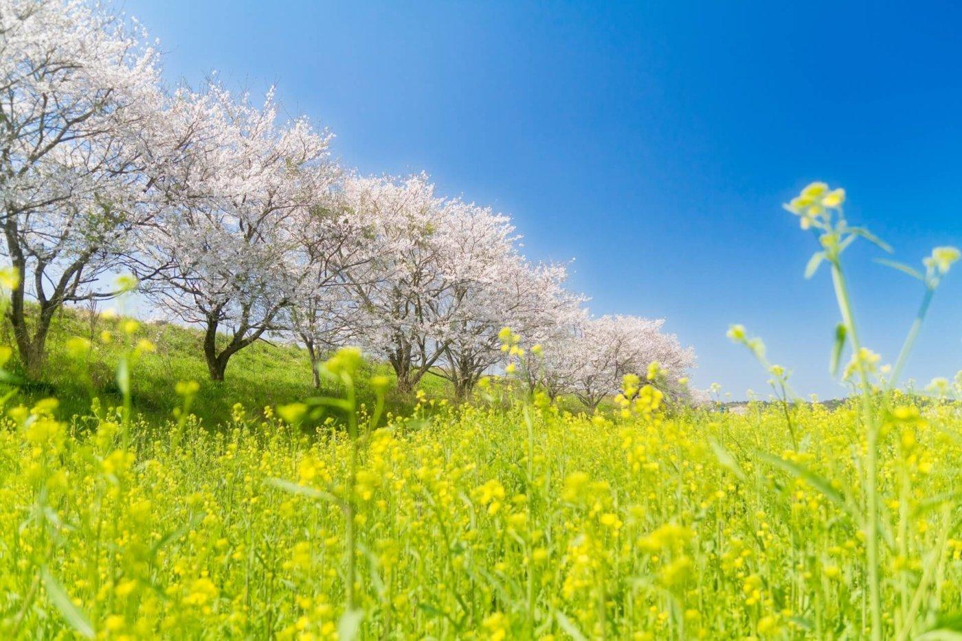 神奈川県でお花見といえば?