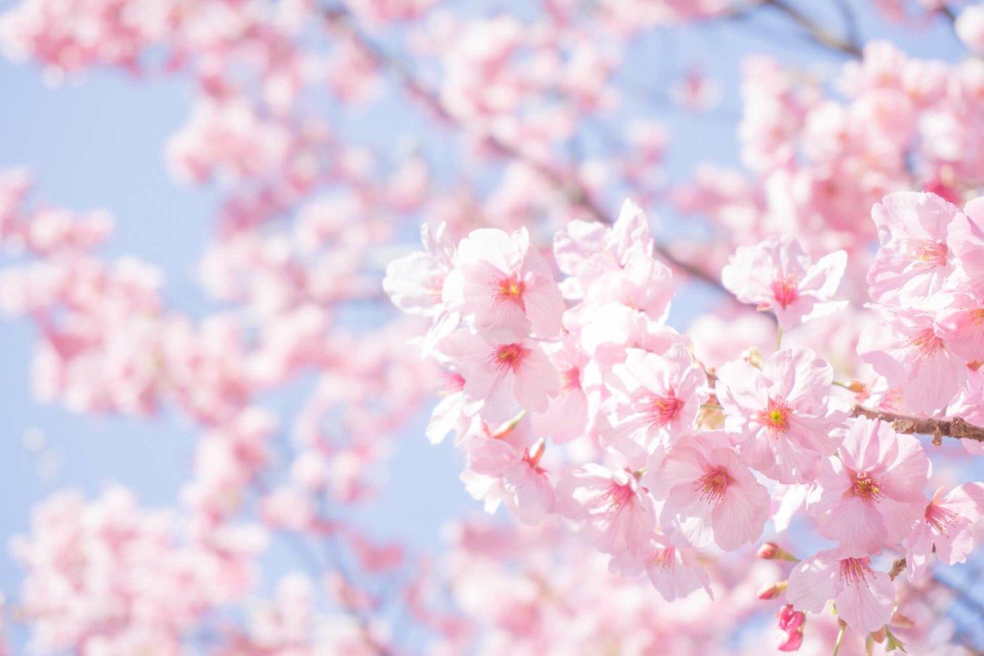 英語でお花見を語る、基本ワード!