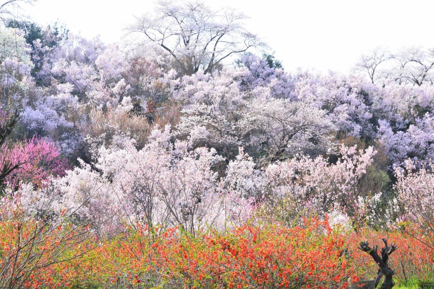 花見山公園の由来をご存じですか?