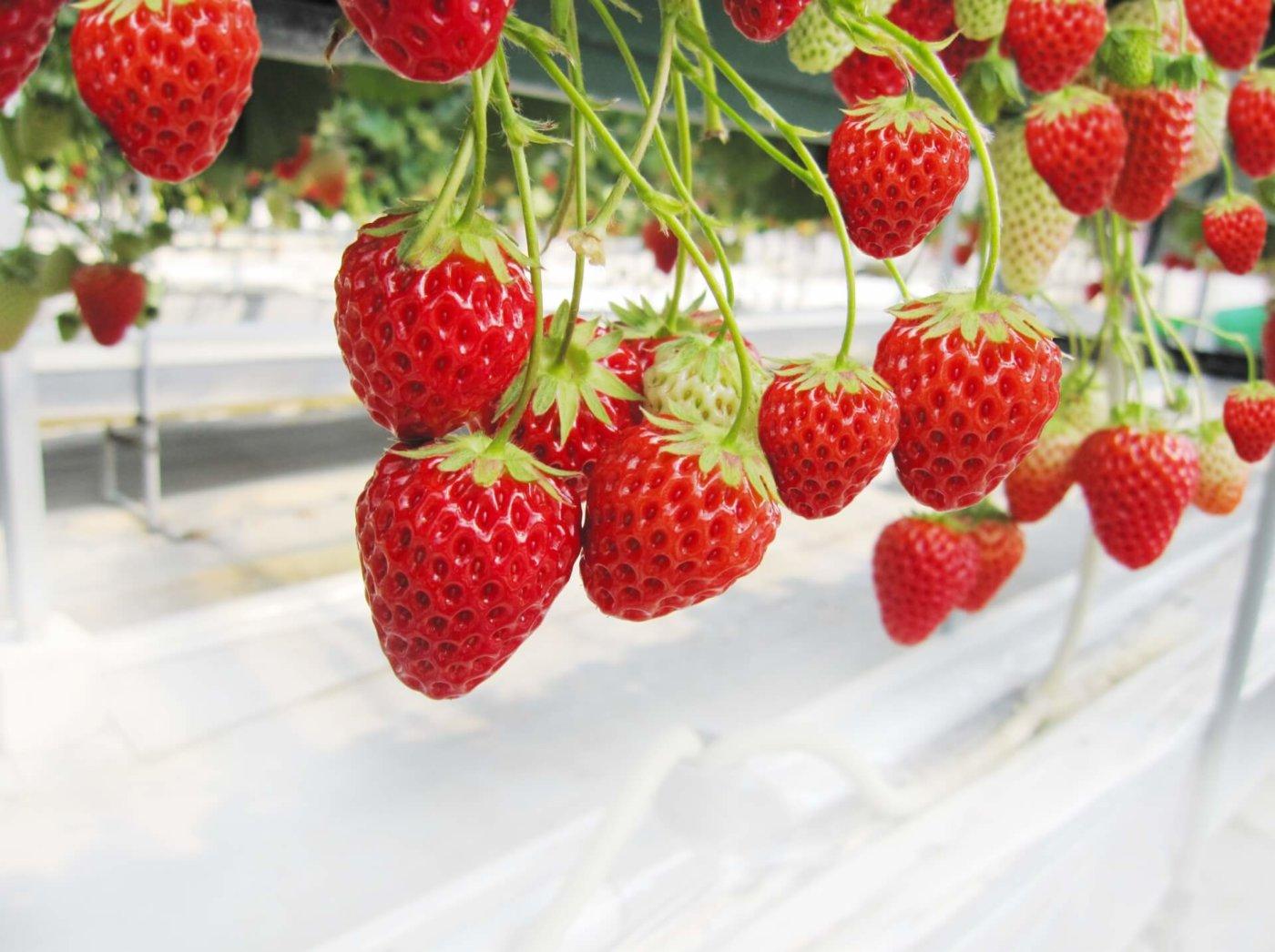 関西で人気のイチゴ狩りスポットを紹介!