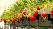 千葉県柏市でできるイチゴ狩り
